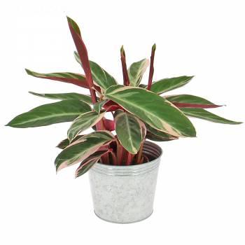 Plante verte - Calathéa multicolore