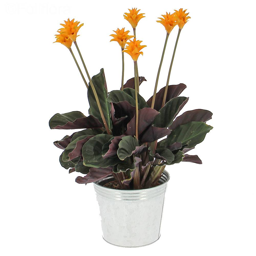 livraison calathea crocata plante fleurie foliflora. Black Bedroom Furniture Sets. Home Design Ideas
