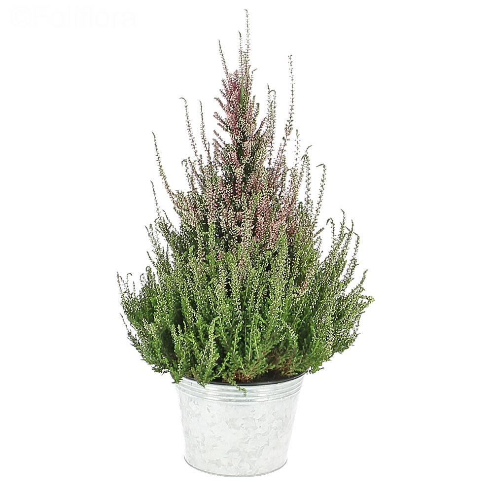 Livraison calluna pyramide plante fleurie foliflora for Livraison plantes exterieur