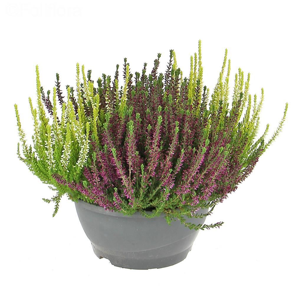 livraison calluna plante verte foliflora. Black Bedroom Furniture Sets. Home Design Ideas