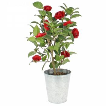 Plante fleurie - Camélia