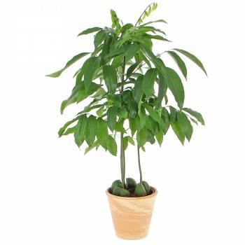 Plante verte - Chataignier d'Australie