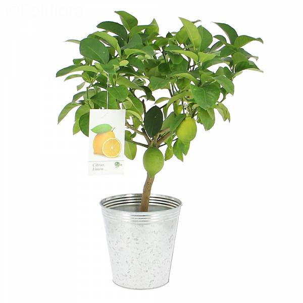 livraison citronnier fruitier foliflora. Black Bedroom Furniture Sets. Home Design Ideas