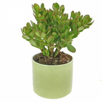 Plante verte - Arbre de Jade