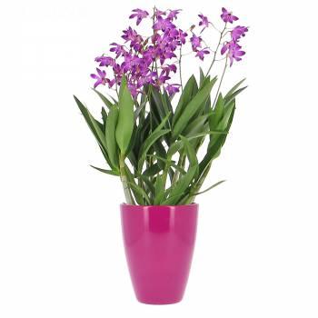 Orchidée - Dendrobium Berry Oda