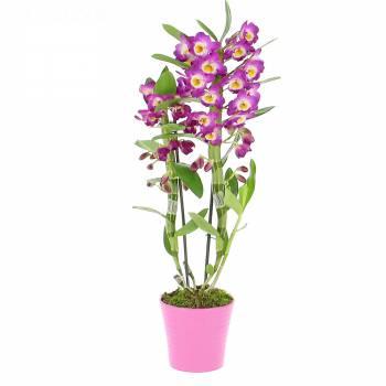 - Orchidée Dendrobium Violet