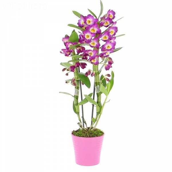 dendrobium-violet