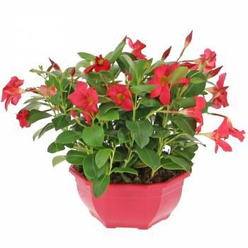 Plante fleurie - Dipladénia Coupe