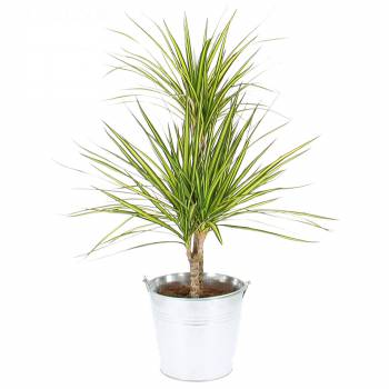 Plantes vertes livraison express foliflora for Catalogue plantes vertes