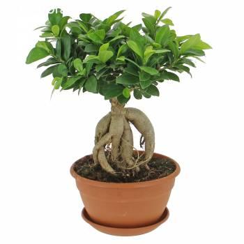 Tous les produits - Ficus Ginseng