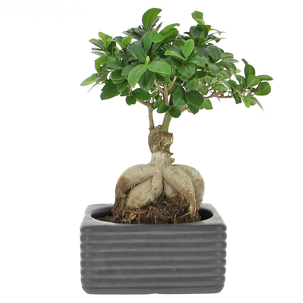 livraison ficus ginseng plante verte foliflora. Black Bedroom Furniture Sets. Home Design Ideas