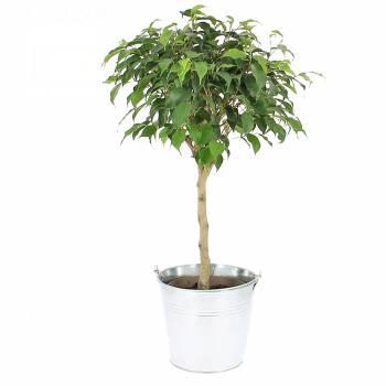 Plante - Ficus tige