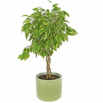 Envoi express : Ficus Tressé