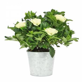 Plante fleurie - Gardénia