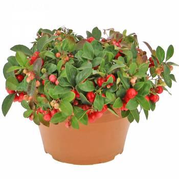 Plante fleurie - Gaulthéria