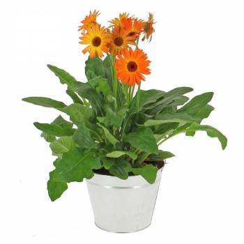 Plante fleurie - Gerbera