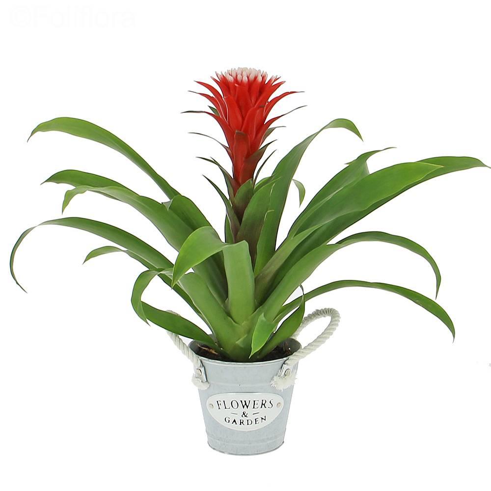 Livraison Guzmania Hope Plante Fleurie Foliflora