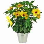 hibiscus-jaune