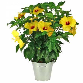 Plante fleurie - Hibiscus Jaune