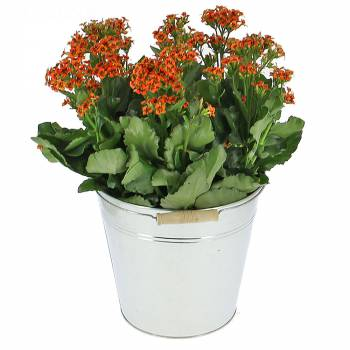Plante - Kalanchoé Queen