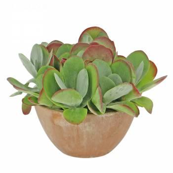 Plante - Kalanchoé Thyrsiflora