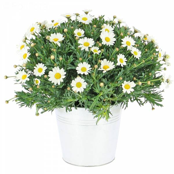 marguerites-pot