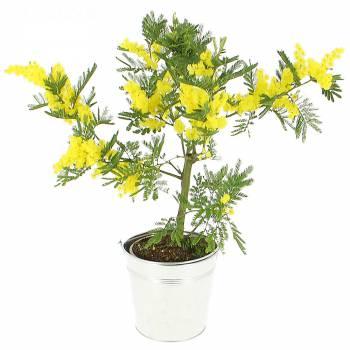 Plante fleurie - Mimosa en pot