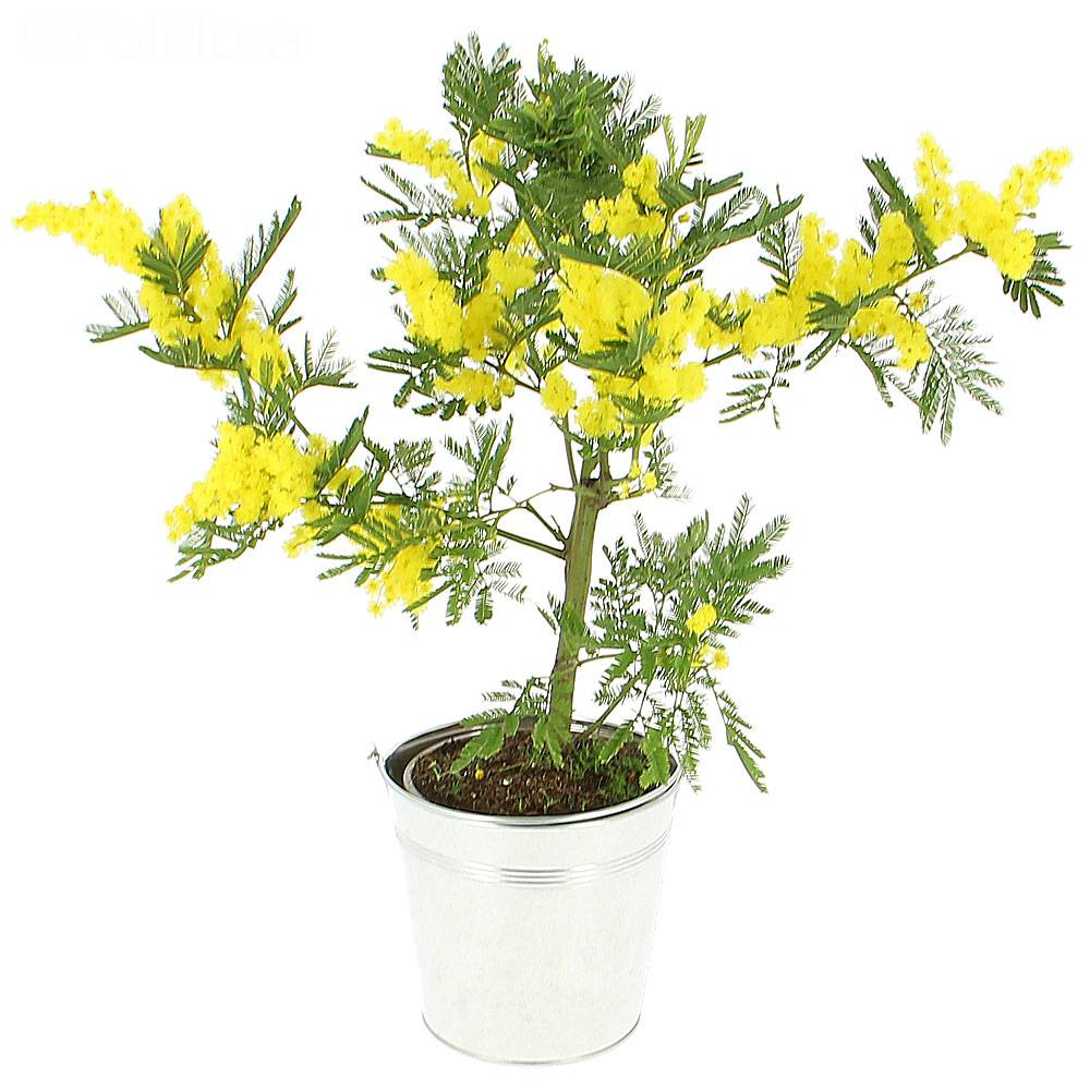 livraison mimosa en pot plante fleurie foliflora. Black Bedroom Furniture Sets. Home Design Ideas