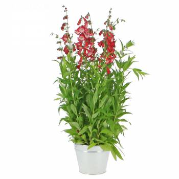 Plante fleurie - Muflier