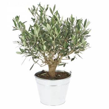 Plante - Légende d'olivier