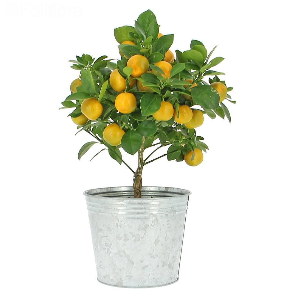 livraison oranger calamondin fruitier foliflora. Black Bedroom Furniture Sets. Home Design Ideas
