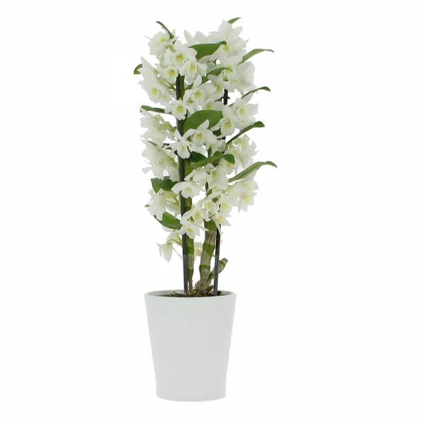 orchid-dendrobium-blanc