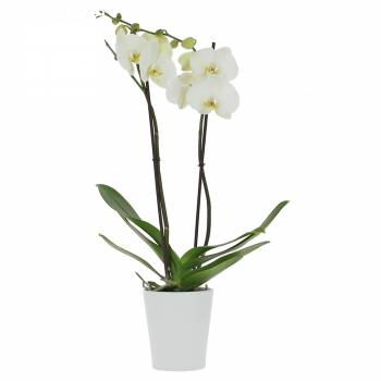 - Orchidée Blanche (2 branches)