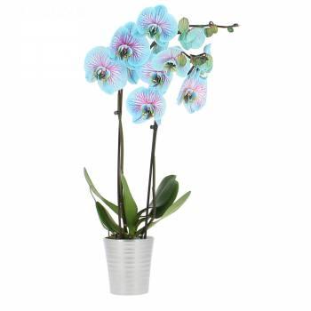 Orchidée - Orchidée Bleue