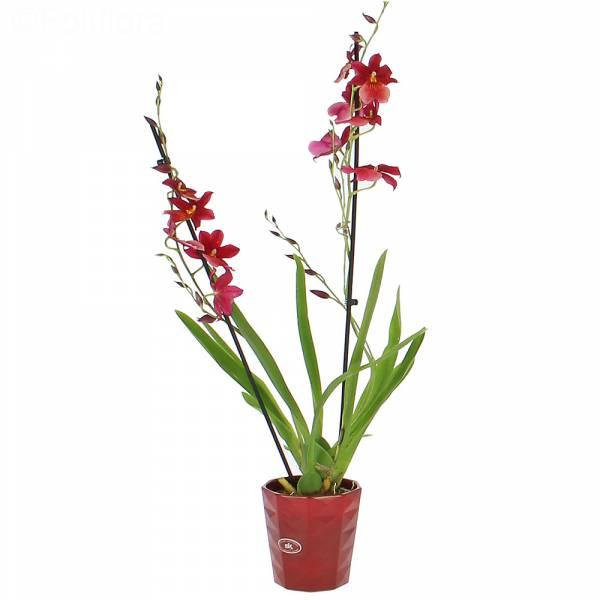 orchidee-cambria