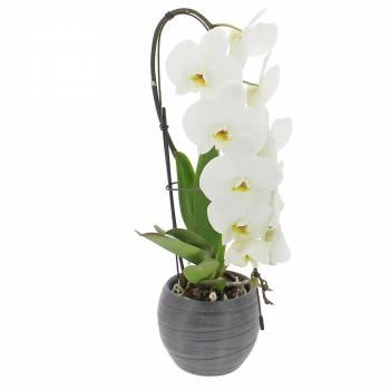 Orchidée - Orchidée Formidablo