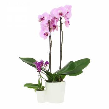 Livraison en moins de 24h : Orchidées Mère et Fille