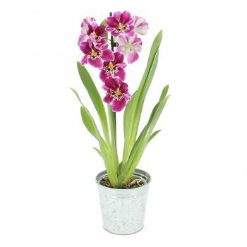 Livraison en moins de 24h : Orchidée Miltonia