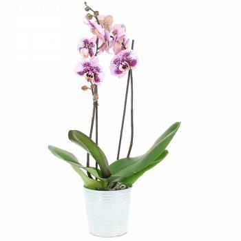 Livraison express : Orchidée Mouchetée