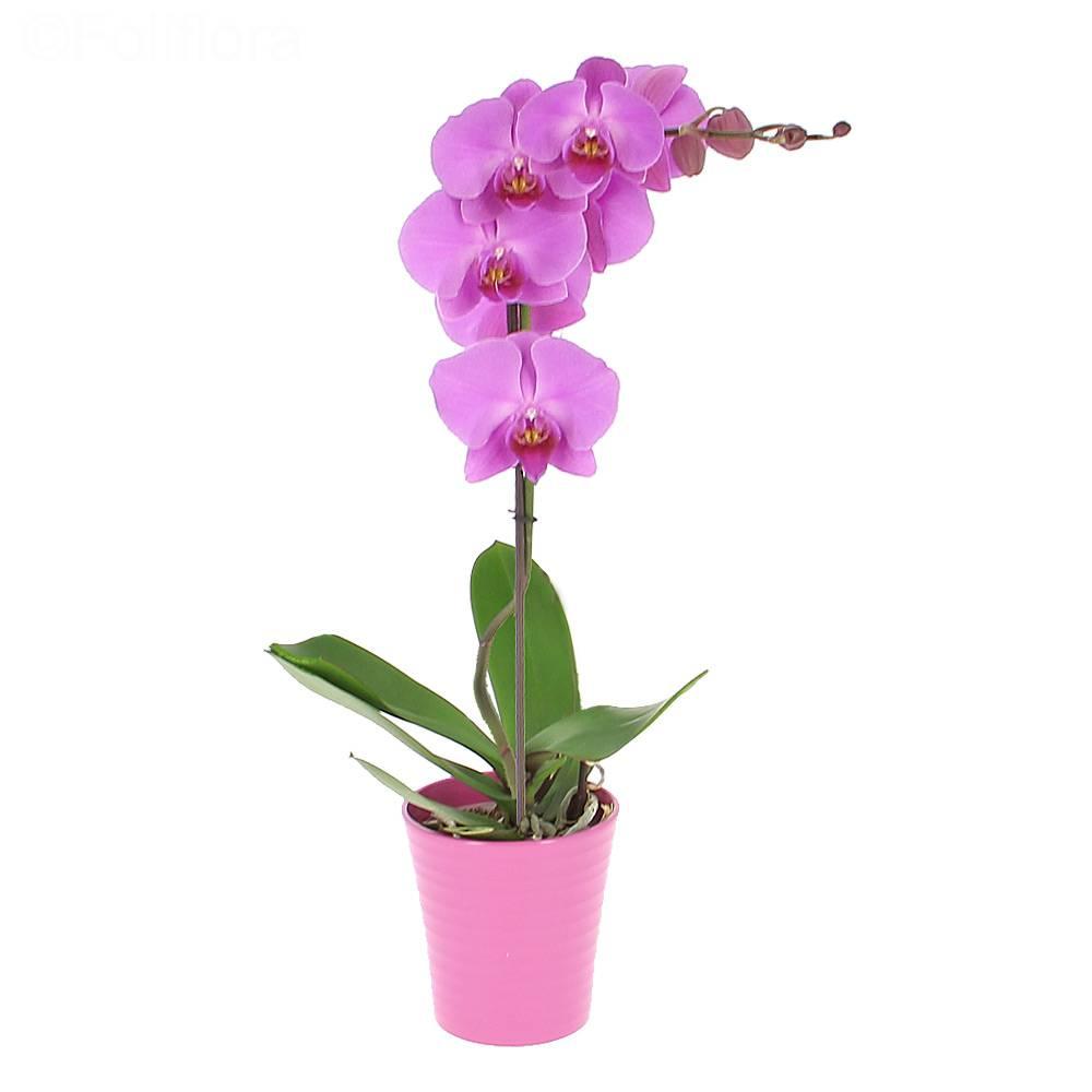livraison orchid e phalaenopsis orchid e foliflora. Black Bedroom Furniture Sets. Home Design Ideas