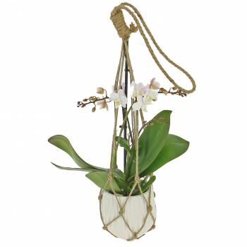- Orchidée Suspendue
