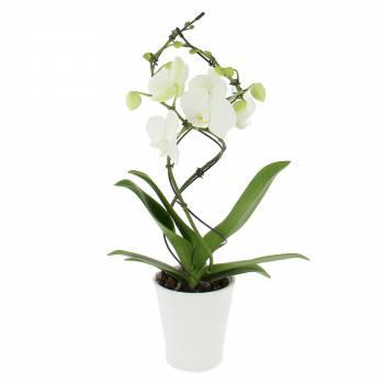 Fleurs amour - Orchidée Twist Blanche