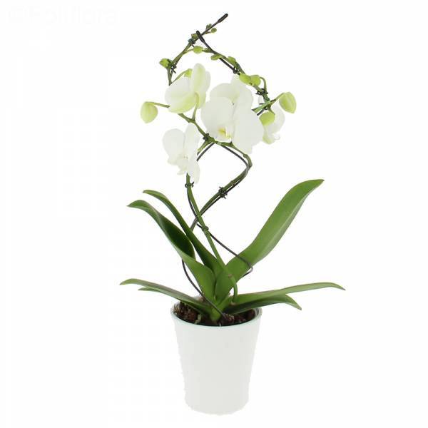 orchidee-twist-blanche