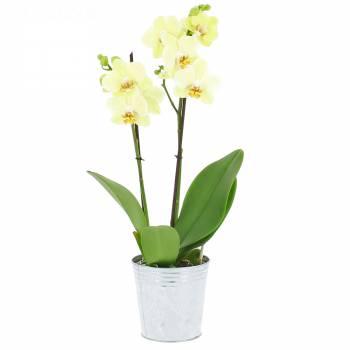 Livraison express : Orchidée Vanille