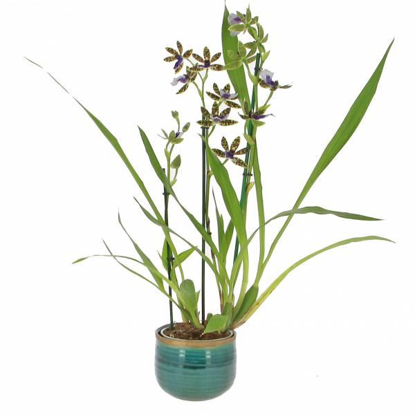 orchidee-zygo