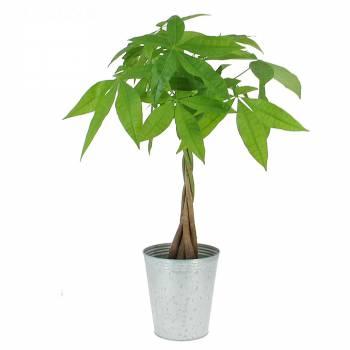 Green plant - Braided pachira