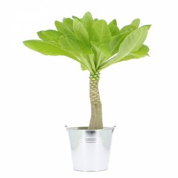 Plante verte - Palmier Hawaïen