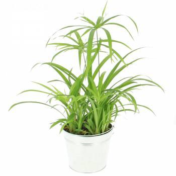 plantes vertes livraison express foliflora. Black Bedroom Furniture Sets. Home Design Ideas