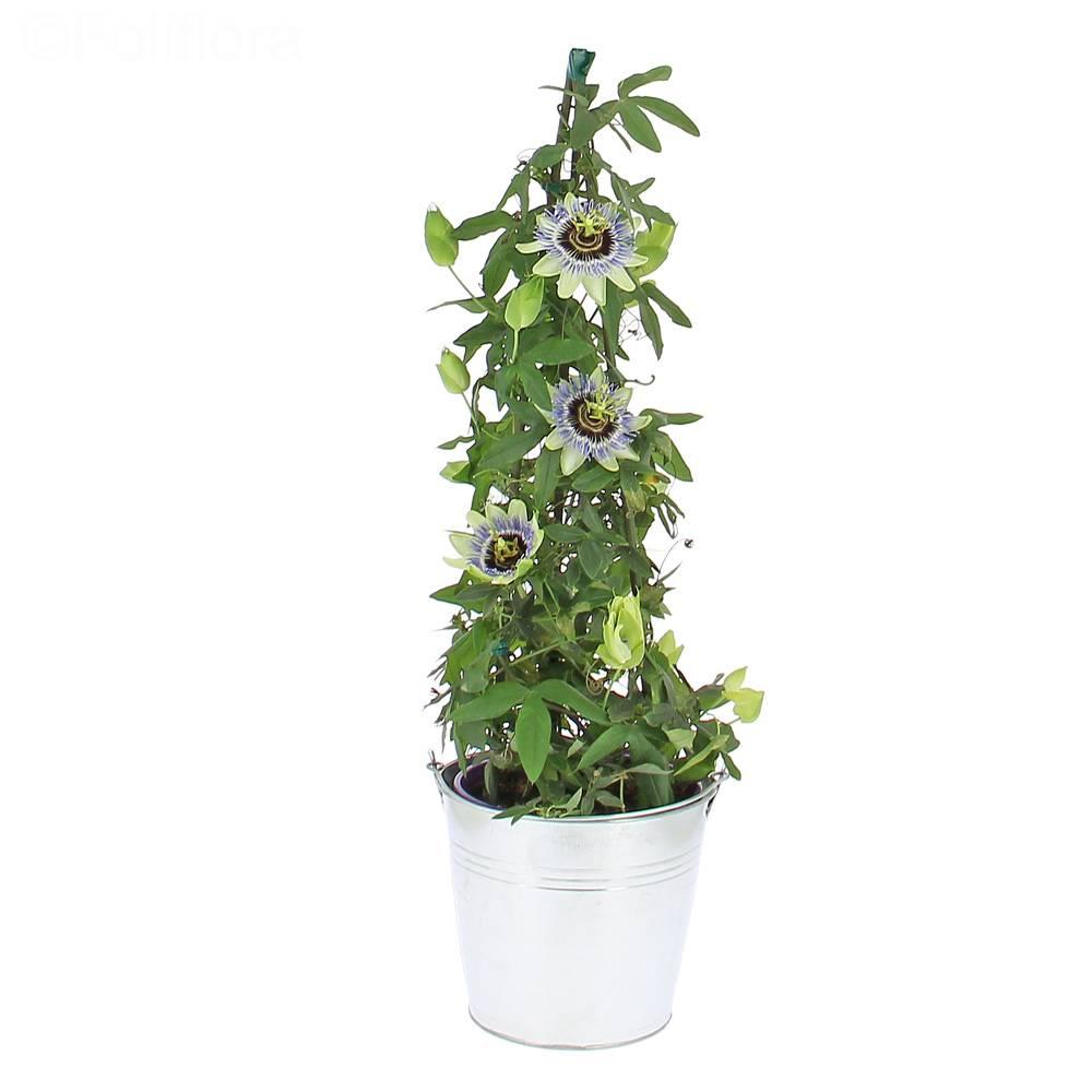 livraison passiflore plante fleurie foliflora. Black Bedroom Furniture Sets. Home Design Ideas