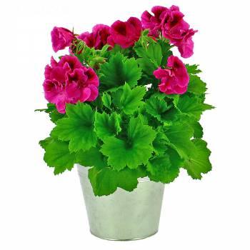Plante fleurie - Pélargonium